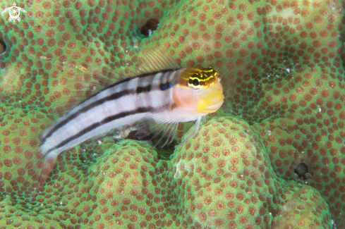 A Escenius bathi | Bath's Blenny