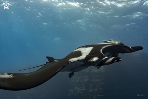 The Giant Oceanic Manta