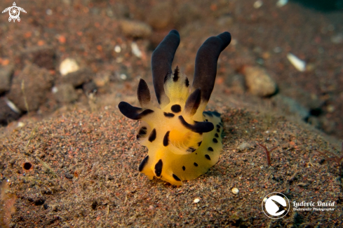 The Pikachu Nudibranch