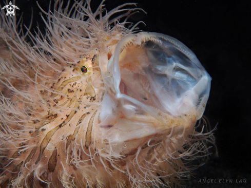 The Hairy Frogfish