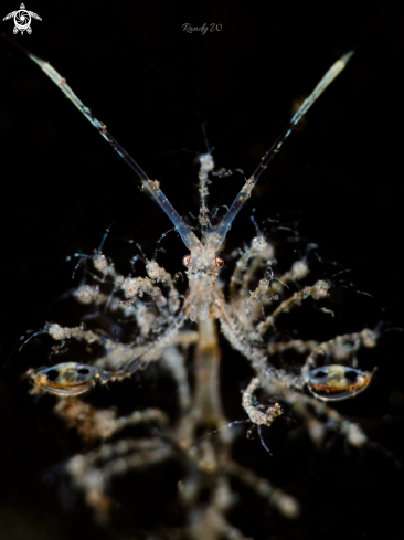 A Caprella Sp. | Skeleton Shrimp
