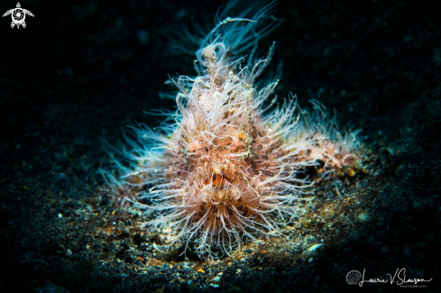 A Striated Frogfish