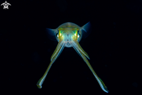 A Bigfin Reef Squid