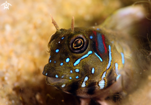 A sphinx blenny