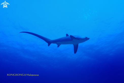 A Thresher Shark