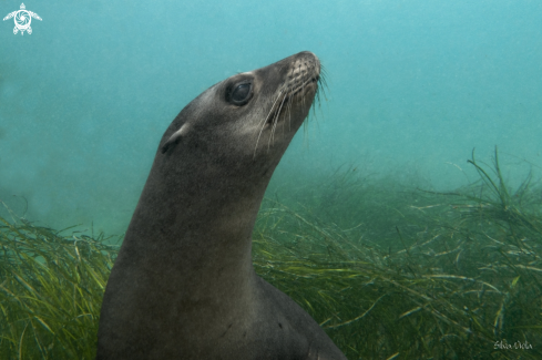 A Zalophus californianus | California Sea Lion