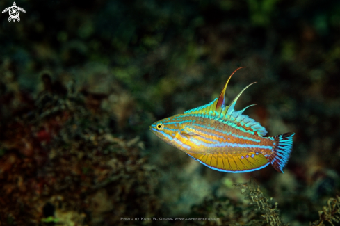 A Flasher Wrasse