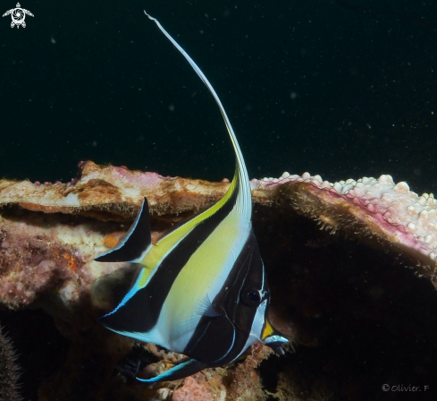 A Moorish idol juvenile