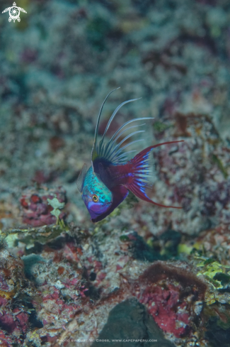 A Blue Flasher Wrasse