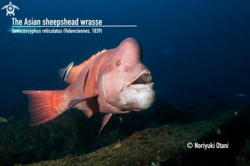 The Asian sheepshead wrasse