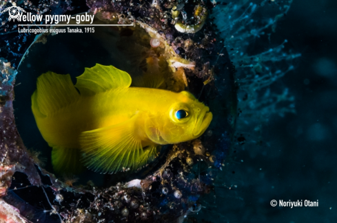 The Yellow pygmy-goby