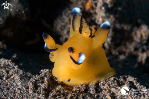 The Pacific Thecacera Nudibranch