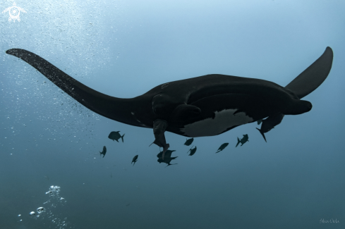 The Giant Oceanic black-morph Manta