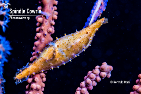 A Phenacovolva sp. | Spindle Cowrie