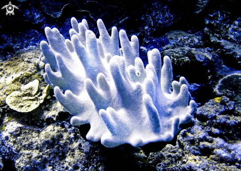 A Leather Coral