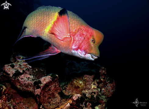 A Mexican Hogfish