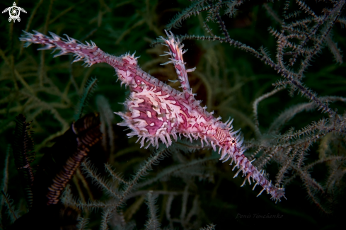 A Solenostomus paradoxus | GHOST PIPEFISH