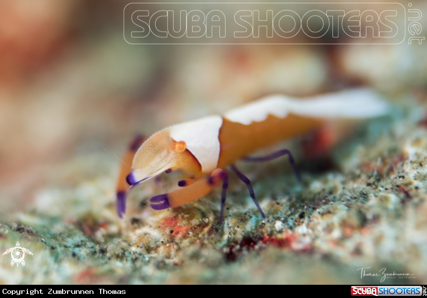 A Imperator Shrimp