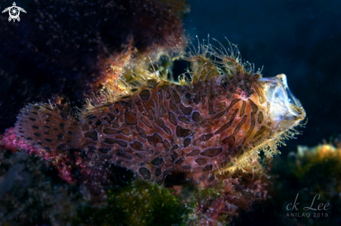 A yawning hairy frogfish
