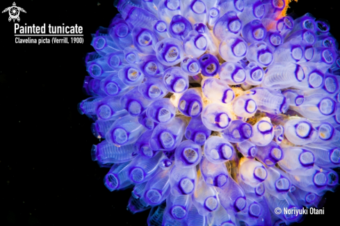 A Clavelina picta (Verrill, 1900) | Painted tunicate