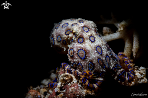 A Hapalochlaena sp. | Blue ring octopus