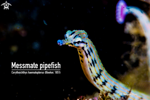 A Messmate pipefish