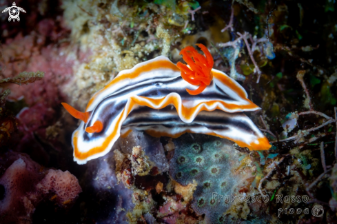 A Chromodoris