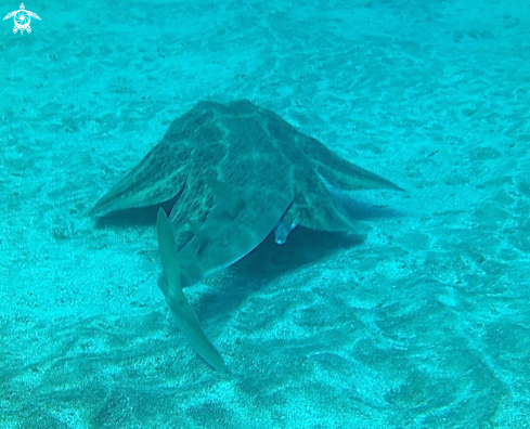 A Angel shark
