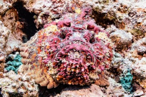 A Stonefish