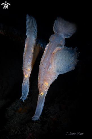 The Robust ghost pipefish