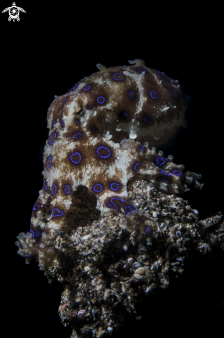 A Blue-ringed octopuses