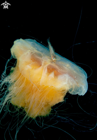A Lions mane jelly & whitting