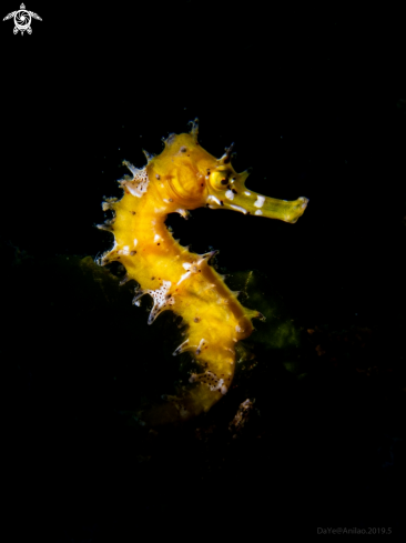 A Yellow Sea Horse