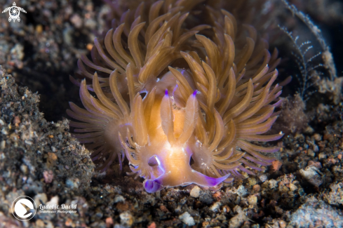 A Pteraeolidia semperi | Blue Dragon Nudibranch