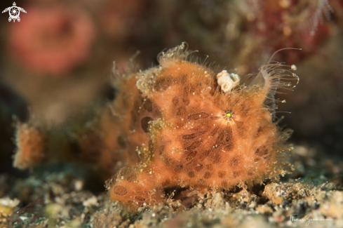 A Hairy Frogfish