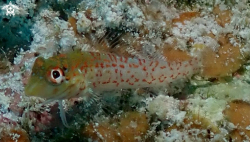 A ? Saddle Blenny