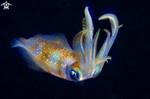 The Bigfin reef squid