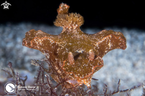 A Slender T-Bar Nudibranch