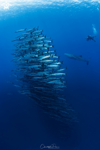 A School of Barracudas, a Whale Shark, and a Diver
