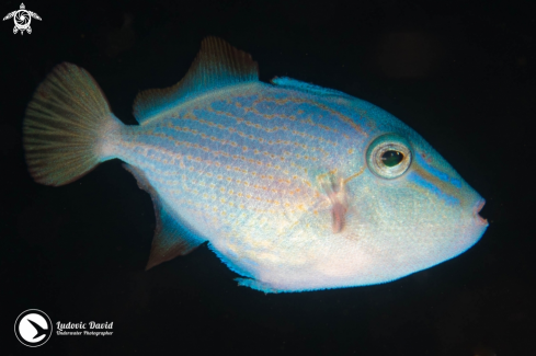A Red-toothed Triggerfish