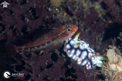 A Striped Triplefin