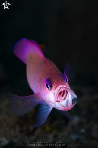 A Anthias