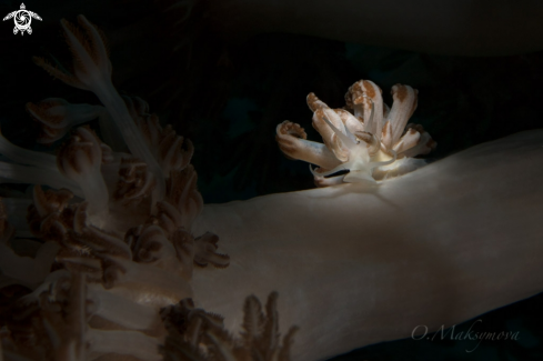 The Nudibranch Phyllodesmium jakobsenae