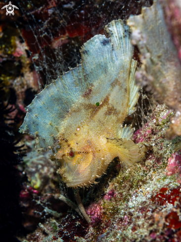 The Leaf Scorpionfish