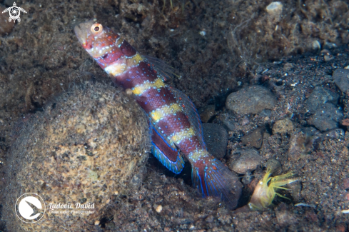 A Gorgeous Shrimpgoby