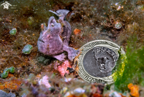 A Antennarius | Frogfish