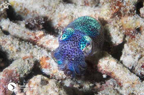A Berry's Bobtail Squid