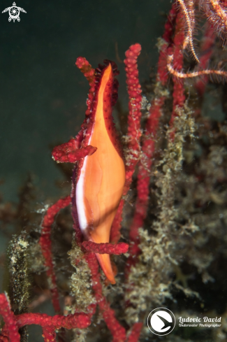 A Double-snouted Spindle Cowrie