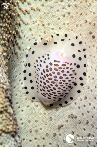 A Black-Spotted Egg Cowrie