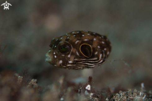 A Blowfish